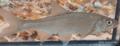 Serpeling (Leuciscus leuciscus).png
