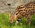 Serval-6.jpg