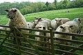 Sheep^ - geograph.org.uk - 169809.jpg