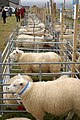Sheep at the Unst Show - geograph.org.uk - 942587.jpg