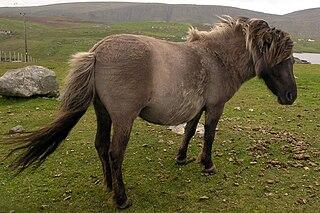 Shetland pony.jpg