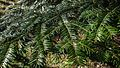 Shiny needles of a silver fir in Gullmarsskogen Nature Reserve.jpg