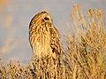 Short-Eared Owl on Seedskadee NWR (23726410766).jpg