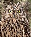 Short-eared Owl Portrait (24504815748).jpg