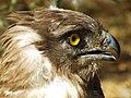 Short-toed Eagle 15.jpg