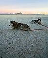 Siberian Huskies (jurvetson)-2.jpg