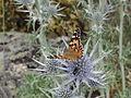 Sierra de Gredos (Castilla y León, España) - mariposa.JPG