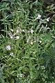 Silene noctiflora 93958706.jpg