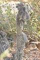 Silver cholla at Regional Parks Botanic Garden.jpg