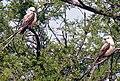 Sissortail Flycatchers (11662669).jpg