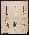 Six plants, all with a different type of inflorescence. Chro Wellcome V0044568.jpg