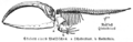 Skelett vom Wal MK1888.png