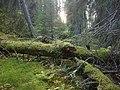 Skograudbergene forest 3.jpg