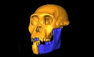 Australopithecus sediba - A reconstruction of the skull of A. sediba holotype MH1, or Karabo.