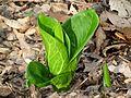 Skunk Cabbage Awakening - Flickr - treegrow.jpg