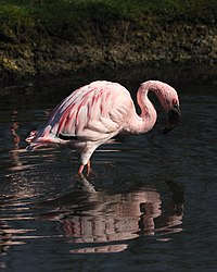 Slimbridge Lesser flamingo (Phoeniconaias minor).jpg