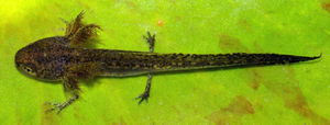 Gill - An Alpine newt larva showing the external gills, which flare just behind the head