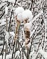 Snow covered cattails plants.jpg
