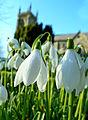 Snowdrop Festival, Shaftesbury (12673314263).jpg