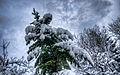 Snowy Fir - WS (6856736255).jpg