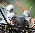 Snowy egrets-6716.jpg