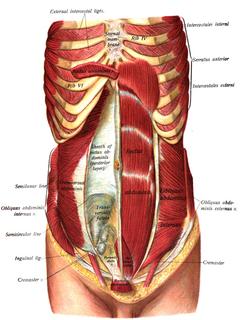 musculos de pared anterior del abdomen