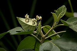 Solanum erianthum Don W IMG 1616