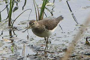 Solitary sandpiper - Hunting behaviour