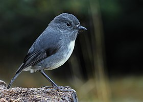 South Island robin, Lewis Pass.jpg