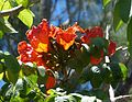 Spathodea campanulata. African Tulip Tree - Flickr - gailhampshire.jpg