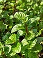 Spearmint in Bangladesh 10.jpg
