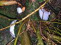 Speir's Lome tree froth.JPG