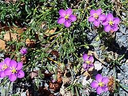 Spergularia rubra Closeup SierraMadrona.jpg