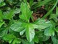 Sphagneticola trilobata (Asteraceae) 11.jpg