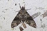 Sphinx moth (Manduca schausi).jpg