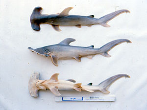 Great hammerhead - Great hammerhead embryos are connected to their mother by a placenta during gestation.