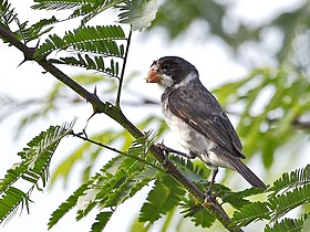 Sporophila albogularis - White-throated Seedeater (male); Potengi, Ceará, Brazil.jpg