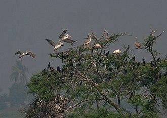 Kolleru Lake - Spot-billed pelicans Pelecanus philippensis at Attapaka in Kolleru Lake, Andhra Pradesh, India.