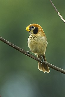 Spot-breasted Parrotbill - Chiang Mai - Thailand S4E9657 (19364593139).jpg