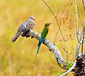 Spotted Dove and Blue-tailed Bee-eater, Kaudulla NP, Sri Lanka.jpg