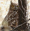 Spotted Eagle-Owl (Bubo africanus) (45395004534).jpg