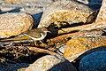 Spotted sandpiper (39205482361).jpg