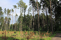 Spruce Forest in 26th and 27th quarter of Bitsa Park.jpg
