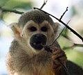Squirrel monkey eating a dragonfly (4233057861).jpg
