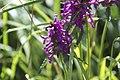 Stachys officinalis-4383.jpg