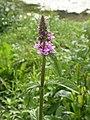 Stachys palustris pont-revigny-sur-ornain 55 19072004 2.JPG