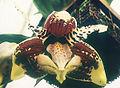 Stanhopea-tigrina.jpg