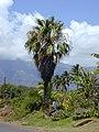 Starr-010330-0594-Washingtonia sp-habit-Kahului-Maui (23905304623).jpg