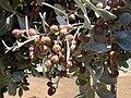 Starr-010330-0600-Conocarpus erectus-fruits-Kahului-Maui (24532112645).jpg