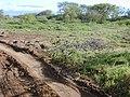 Starr-020116-0027-Cynodon dactylon-tire tracks-Kanaha Beach-Maui (23918994183).jpg